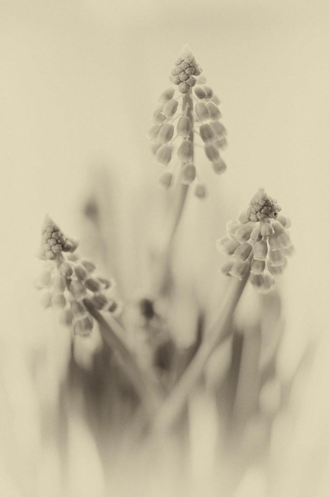 Hyacinths-1