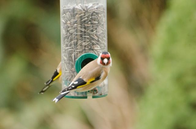 Stieglitz / European Goldfinch